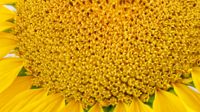 Blooming sunflower close-up macro shot texture or background