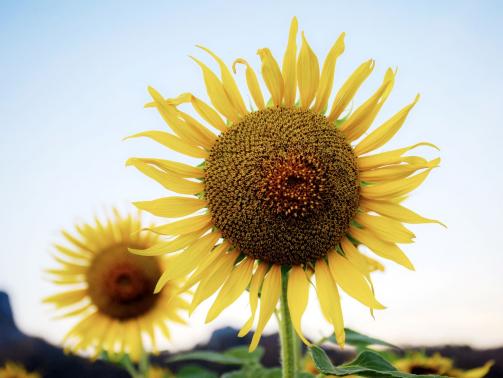 sunflower-in-winter-EUB5VNQ