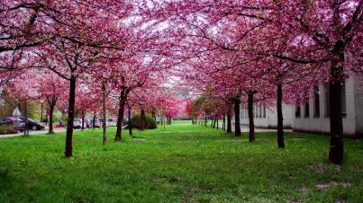Blossom trees spring
